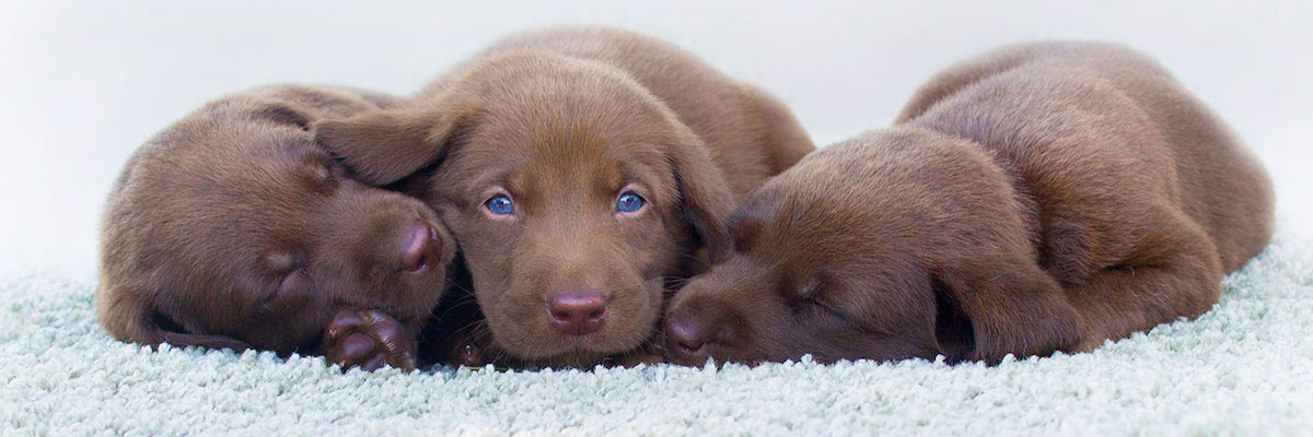 Three chocolate labs on clean white carpet